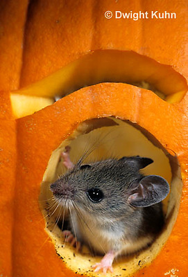 MU59-050z   White-Footed Mouse - on Jack-o-lantern -  Peromyscus leucopus