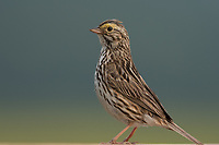 Savannah Sparrow (Passerculus sandwichensis). Anchorage Alaska. Photo by James R. Evans