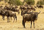 African Wildebeests (Connochaetes taurinus) on the Masai Mara National Reserve safari in southwestern Kenya.