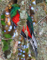 Male white-tipped quetzal