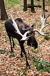 Bull moose walking 45 degrees to camera full body view, vertical.