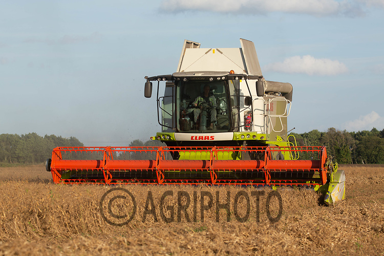 13-8-2021 Harvesting peas in Lincolnshire <br /> ©Tim Scrivener Photographer 07850 303986<br />      ....Covering Agriculture In The UK....