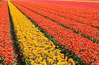 """Hollande, région des champs de fleurs, Lisse, champs de tulipes à perte de vue // Holland, """"Dune and Bulb Region"""" in April, Lisse, here, fields of tulips."""