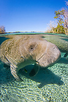 Florida Manatee (Trichechus manatus latirostris) Surfacing to breath at the Three Sisters sanctuary located in Crystal River,Florida.