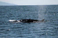 Sei Whale mother and calf at the surface