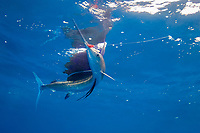 pelagic Atlantic sailfish, Istiophorus albicans, (considered by some to be a single species with Istiophorus platypterus), seaizes a hookless teaser lure, Yucatan Peninsula, Mexico (Caribbean Sea) near Contoy Island, Isla Mujeres, Cozumel, Cancun
