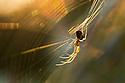 Longjawed Orbweaver {Metellina segmentata} in web at sunset. Dunwich Heath, Suffolk, UK. September.