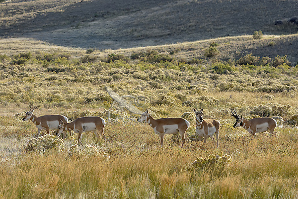 Pronghorn Antelope (Antiloapra americana) herd.  Western U.S., September.