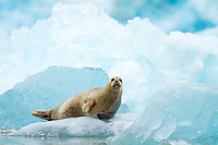 harbor seal, Phoca vitulina, on icebergs by South Sawyer Glacier, Tracy Arm Fords Terror Wilderness, Alaska, USA
