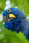 Hyacinth Macaw (Anodorhynchus hyacinthinus) preening in forest bordering of the Cuiaba River, Northern Pantanal, Brazil.