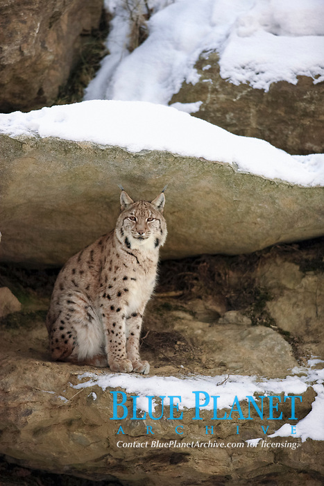 Eurasian Lynx (Lynx lynx carpathicus), adult, sitting amongst rocks in snow, Bavarian Forest National Park, Bavaria, Germany, Europe