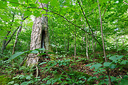 Birch Tree during the summer months at Lafayette Brook Scenic Area in the White Mountains of New Hampshire USA.