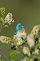 Male Lazuli Bunting (Passerina amoena) singing among choke cherry blossoms.  Western U.S., summer.