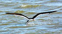 Black skimmer fishing