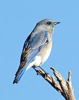 Adult gray female mountain bluebird