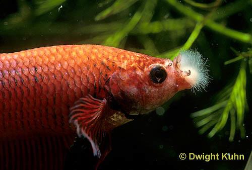 BY11-011z   Siamese Fighting Fish - cotton mouth disease (Chondrococcus columnaris) - Betta splendens