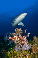 Caribbean reef shark, reef shark, Carcharhinus perezii, Lionfish, lion fish, Pterois volitans, Bahama Banks, Bahamas, Atlantic ocean, Caribbean reef shark and invasive lion fish in the Bahamas.