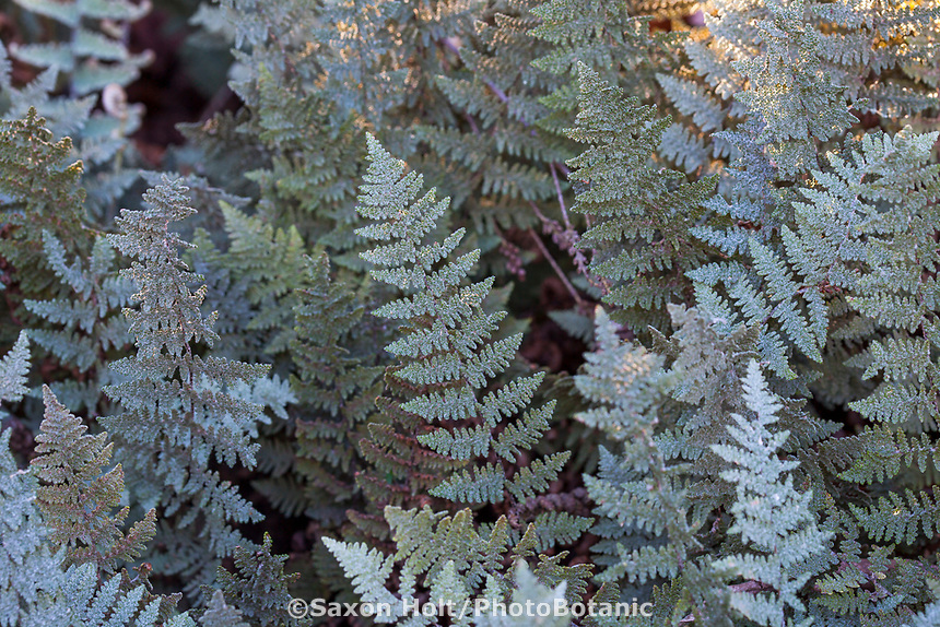 Myriopteris lindheimeri aka. Cheilanthes lindheimeri (Fairyswords, Fairy Swords, Lindheimer's Lip Fern), silver gray foliage fern in University of California Berkeley Botanic Garden