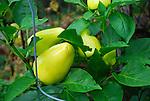 Albino Bullnose Peppers
