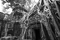 Black-and-white tree root growing through Ta Prohm (Rajavihara) temple ruins in the jungle of Angkor Wat Siem Reap complex, Cambodia Southeast Asia