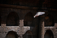 Peace - a white Dove is flying in front of the spanish historical wall in Paco park, Manila, Philippines
