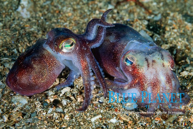 bobtail squid, Squid, Rossia macrosoma, Courtship behavior, Bergen, Hordaland, Norway, North Atlantic Ocean