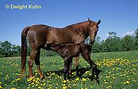 SH07-004z  Arabian Horse - mare nursing young