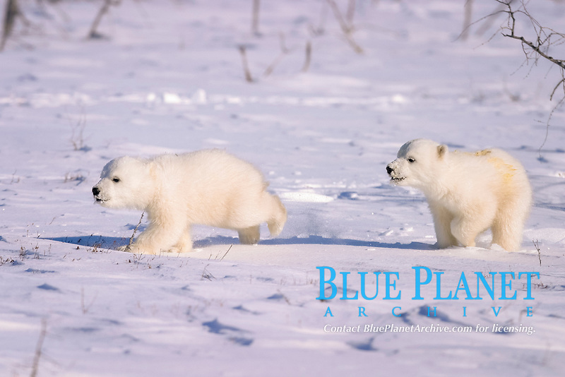 Polar Bear cubs, Ursus maritimus, running on open snow, Churchill, Manitoba, Hudson Bay, Canada, polar bear, Ursus maritimus