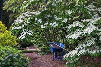 Gardeners wheelbarrow under white flowering Kousa dogwood tree, Cornus kousa in Filoli garden