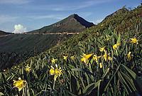 Europe/France/Auvergne/15/Cantal/Parc Régional des Volcans/Massif du Puy Mary (1787 mètres): Détail jonquilles