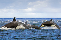 killer whale, or orca, Orcinus orca, pod, hunting long-beaked common dolphin, False Bay, South Africa