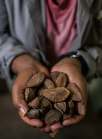 Castanheiras e castanha.<br /> ©Carlos Borges