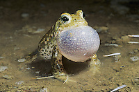 Natterjack Toad , Bufo calamita, male calling at night, Edlibach, Zug, Switzerland, April 1992