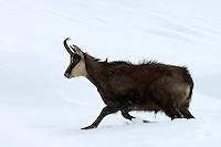 Chamois buck in the snow