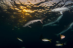 Carcharhinus falciformis, Cuba Underwater, Gardens of the Queen, Sunlit silky sharks at the surface