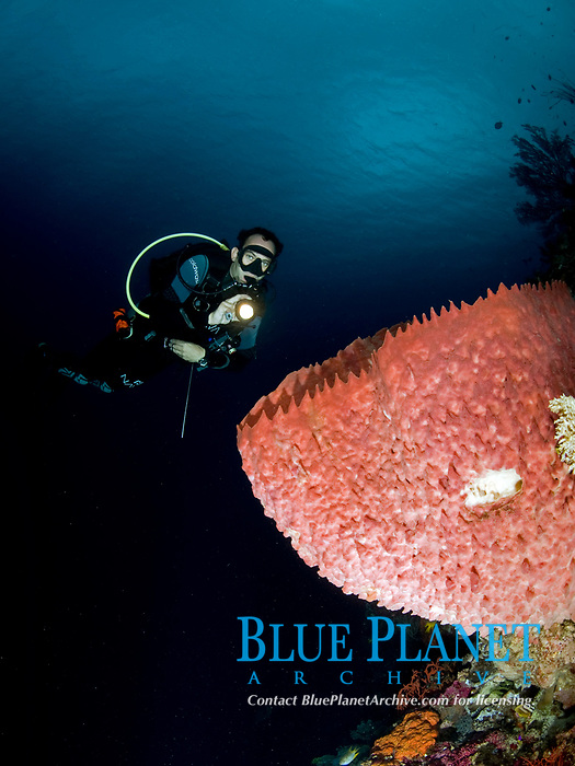 male scuba diver and giant sponge, Wakatobi, Indonesia, Pacific Ocean