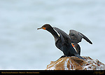 Cormorant Drying its Wings, Double-Crested Cormorant, Highway 1, Monterey, California