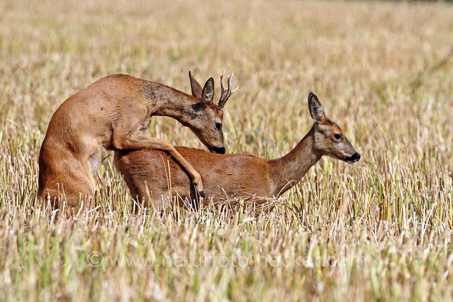 Europäisches Reh, Rehwild, Reh-Wild, Paarung, Rehbock und Ricke, Männchen und Weibchen, Bock, Reh-Bock, Capreolus capreolus, European roe deer, western roe deer, roe deer, Le chevreuil
