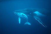 Swimming with the Humpback Whales in Tonga