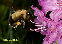 BU06-502z  Bumblebee Queen collecting pollen and nectar in early spring from PJM Rhodadendron flowers, Bombus spp.