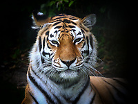 The UK Government have recently allowed Zoos across the country to re-open after lockdown. Small places like Linton Zoo Conservation Park,  just outside Cambridge are operating, but with reduces visitors, social distancing and some areas not open. England, UK on Friday July 17th 2020<br /> <br /> Photo by Keith Mayhew