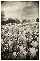 Spring flowers in Crystal Palace Park, with the transmitter in the background, South London