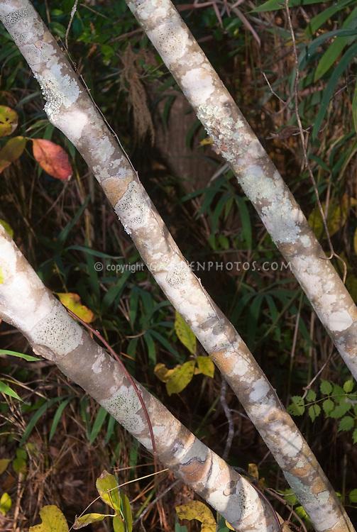 Ilex verticillata tree trunk bark Black Alder