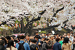 April 3, 2016, Tokyo, Japan - People stroll under fully bloomed cherry blossoms at a park in Tokyo on Sunday, April 3, 2016. Despite the rain, people enjoyed cherry blossom viewing party. (Photo by Yoshio Tsunoda/AFLO) LWX -ytd-