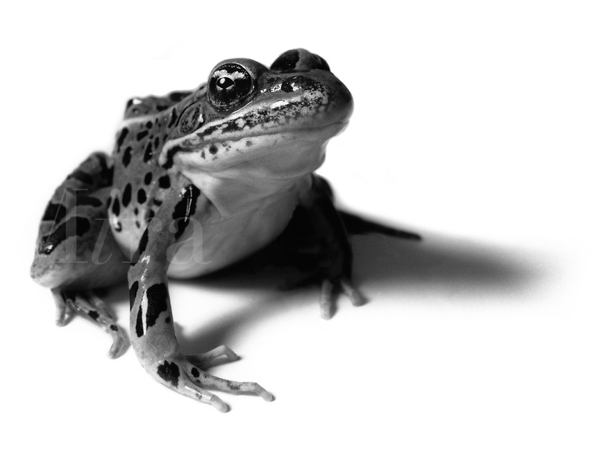 Black & white image of frog leaping.