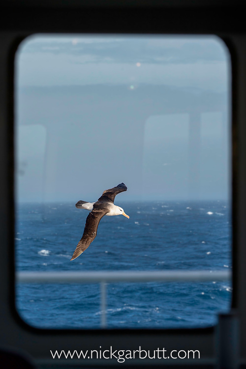 Viewed through a ship's window, a black-browed albatross (Thalassarche melanophris) in flight off South Georgia, South Atlantic Ocean.