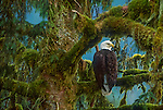 Bald eagle (Haliaeetus leucocephalus)<br />