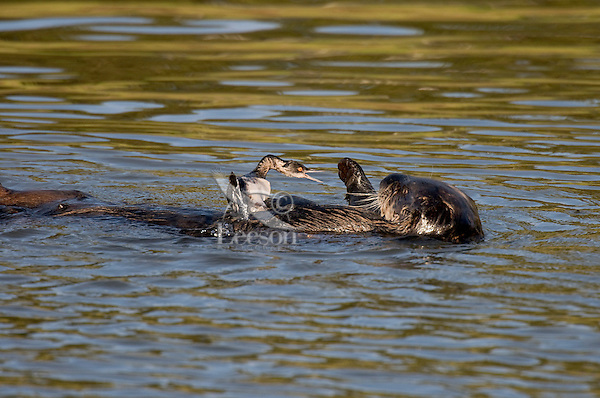 Sea Otter (Enhydra lutris) playing with grebe.  Sea otter did not attempt to eat this grebe, but only played with it for 5 to 10 minutes before letting it go.