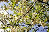 Fruehling in Imeretien. Bluehende Akazienbaeume in Westgeorgien. Georgischer Akazienhonig ist eine Spezialitaetund ein beliebtes Souvenir / Springtime in Georgia  with blooming acacia. acacia honey from Georgia is famous and delicious.