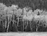 """""""Trees Along Colorado Highway 570"""" <br /> Red Wing, Colorado <br /> <br /> This black and white photo contrasts different types of trees along County Road 570 south of Red Wing, Colorado."""